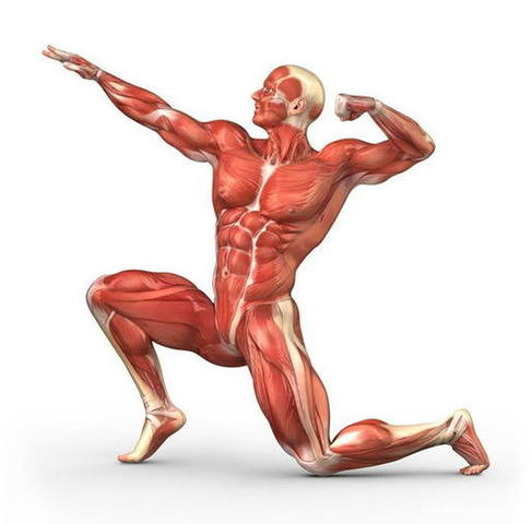 Быстрые и медленные мышечные волокна фото